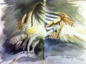 drawing of osprey