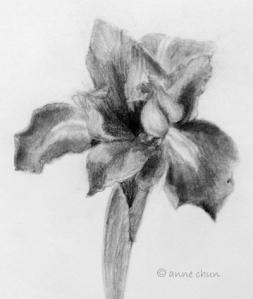 iris drawing