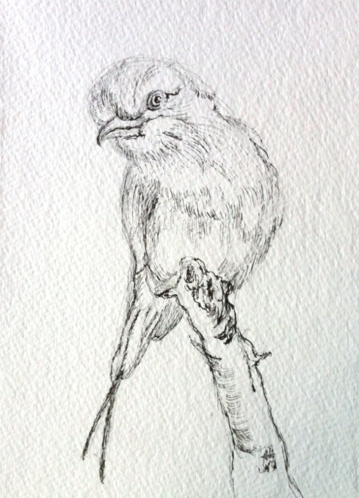 Bird sketch in ink
